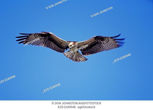 Osprey (Pandion haliaetus), Everglades National Park, FL, USA