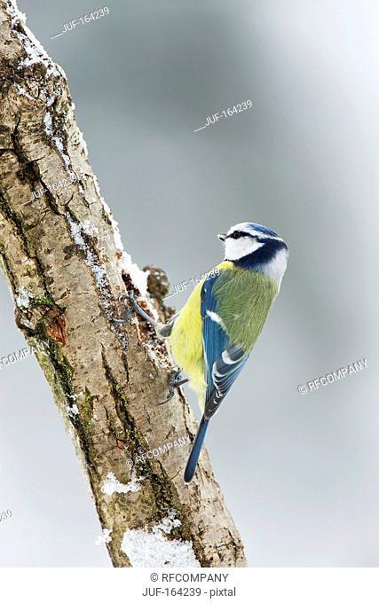 Blue Tit on branch / Cyanistes caeruleus