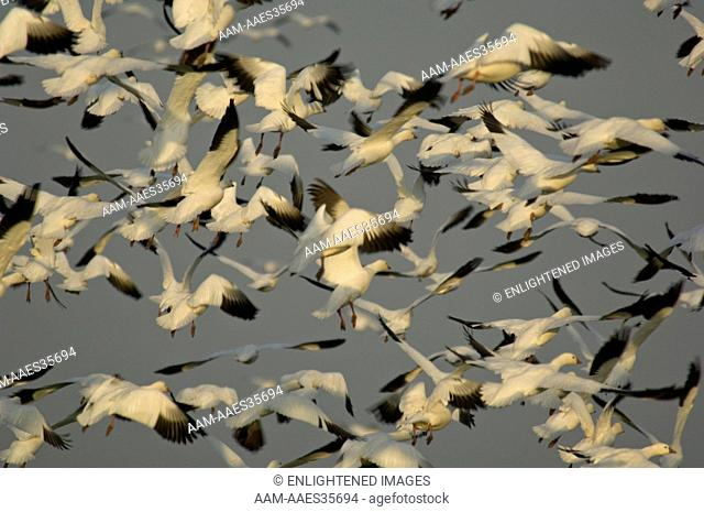 Flocks of Ross's Geese flying during migration, Merced National Wildlife Refuge, Central Valley, California