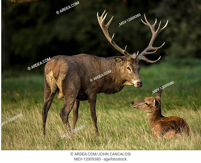 red deer (Cervus elaphus), Stag during rut, interacting with one of the females in his harem, England, U.K