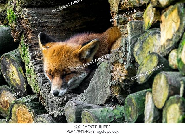 Red fox (Vulpes vulpes) sleeping in hollow tree trunk in woodpile in forest