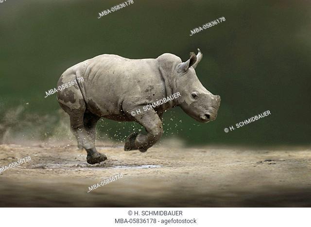 Wide mouth rhinoceros, Ceratotherium simum, calf in the run
