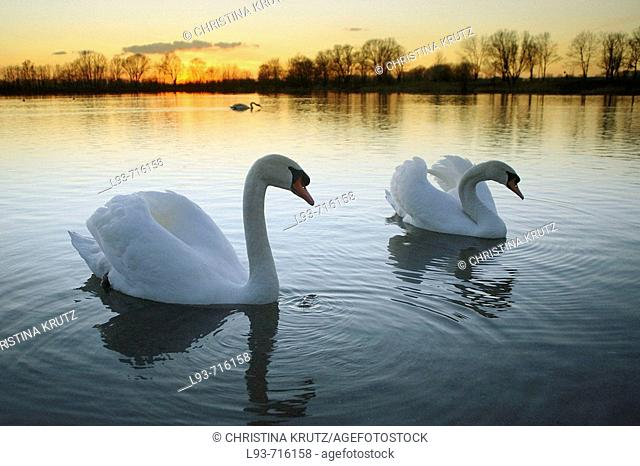 Mute Swan, Cygnus olor, Adult, Germany