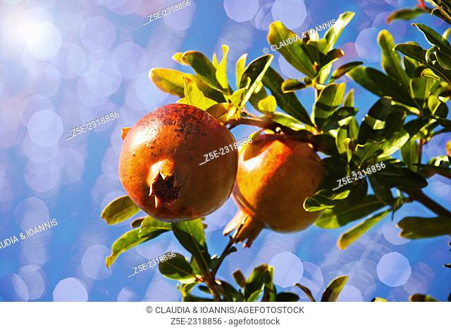 Two pomegranates on tree (with lens flare and bokeh)