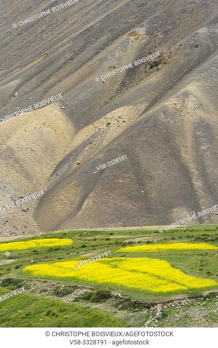 India, Jammu & Kashmir, Ladakh, Khardung village, Mustard fields