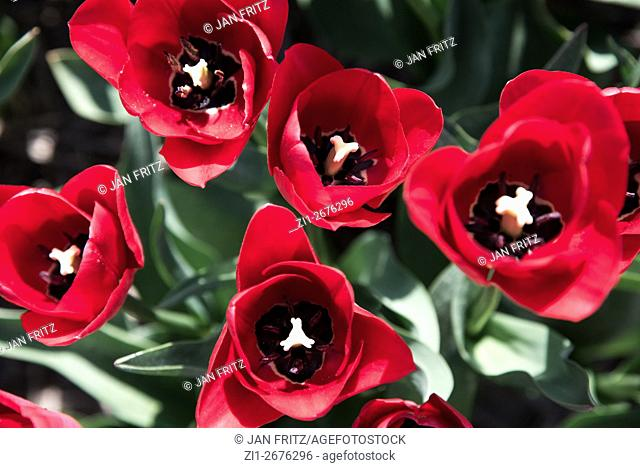 closeup from tulips at Texel