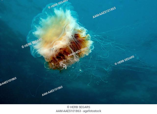 Lion's Mane Jellyfish, (Cyanea capillata) photographed in the water off New Jersey, USA