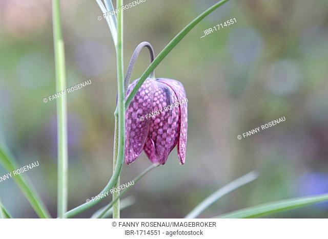 Chess flower, checkered daffodil (Fritillaria meleagris)
