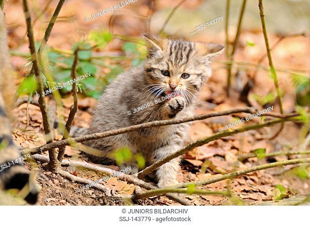 European wildcat - cub licking its paw / Felis silvestris silvestris