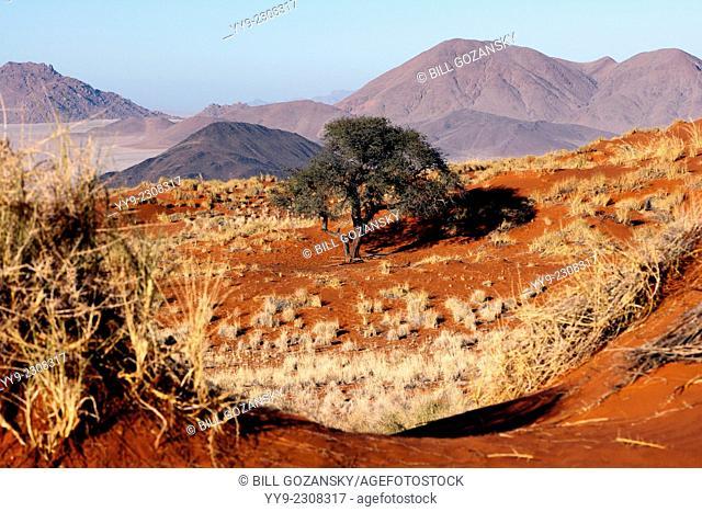 Big Tree Wolwedans Landscape - NamibRand Nature Reserve - Hardap Region, Namibia, Africa