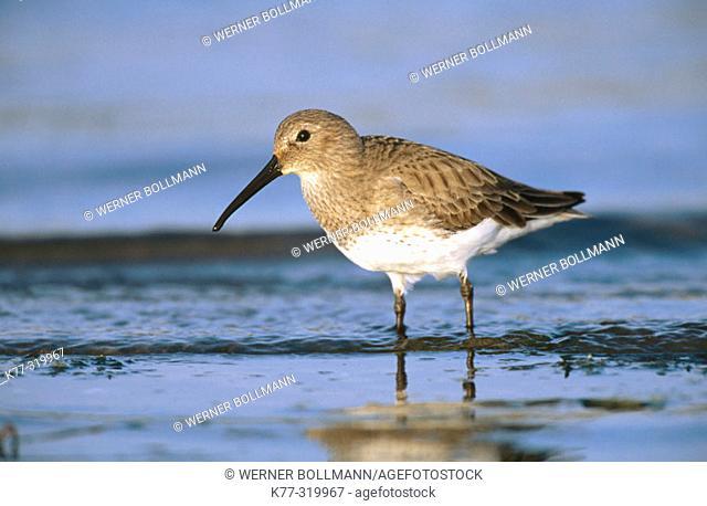 Dunlin (Calidris alpina). Bird in winter plumage. Sanibel Island. Florida. USA