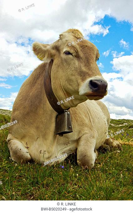 domestic cattle (Bos primigenius f. taurus), brown cattle lying, Italy, Trentino-Alto Adige