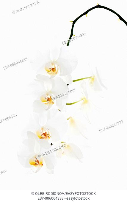 White orchid isolated on white background. Closeup