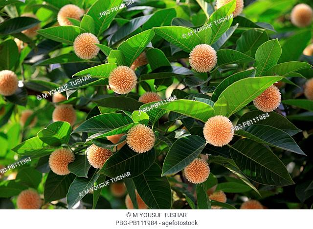 The Kadam flower, Anthocephalus cadamba, bloom during the rainy season in Bangladesh