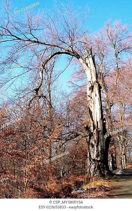 old tree in autumn