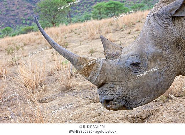 white rhinoceros, square-lipped rhinoceros, grass rhinoceros (Ceratotherium simum), portrait of a rhinoceros, Namibia