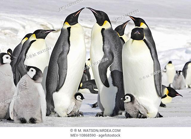 Emperor Penguin - adults and chicks (Aptenodytes forsteri). Snow hill island - Antarctica