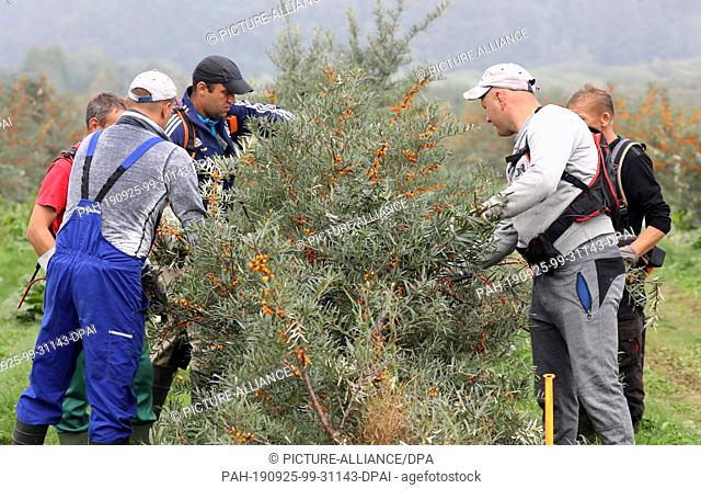 25 September 2019, Mecklenburg-Western Pomerania: On Forst Schneebecke are harvest assistants at the sea buckthorn harvest