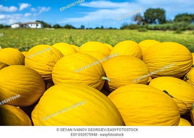 Canary yellow melons from the farm. Sunny day. Pile of melons in the plantation