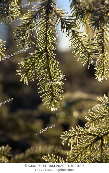 Frost covered dew drops are glittering on fir twigs on an autumn morning. Västernorrland, Sweden