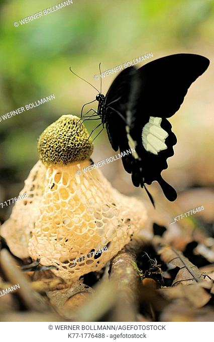 Tropical butterfly and mushroom, Tanjung Puting National Park, Province Kalimantan, Borneo, Indonesia