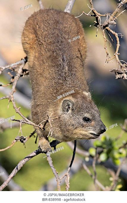 Cape Hyrax or Rock Hyrax (Procavia capensis), adult, in a tree, South Africa
