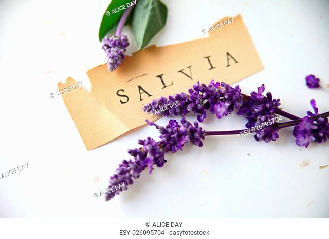 The word salvia on old torn paper with purple flowers