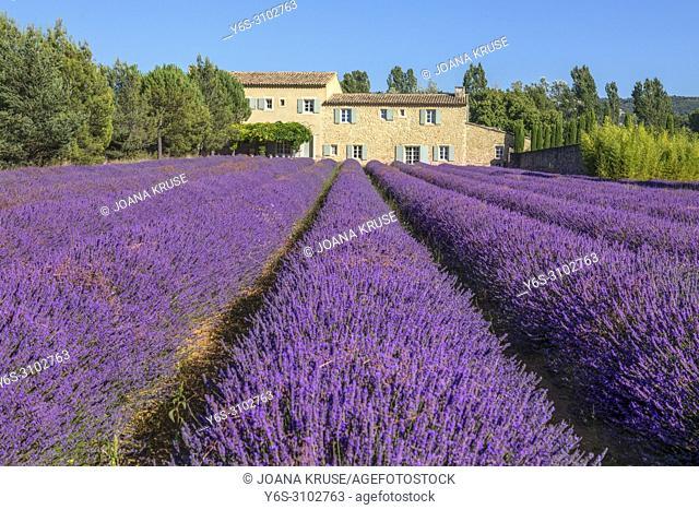 Bonnieux, lavender fields, Apt, Provence, France