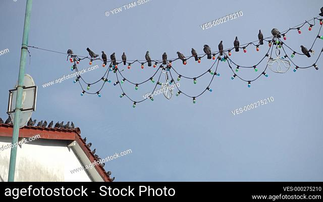 Flock of dove bird stay at electric wire at street
