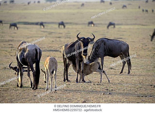 Kenya, Masai Mara Reserve, Wildebeest (Connochaetes) in Savannah