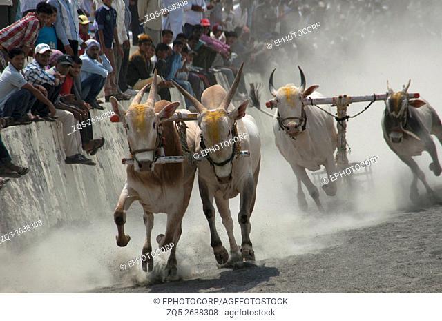 Traditional Bullock cart racing (bailgada sharyat)Maharashtra, India