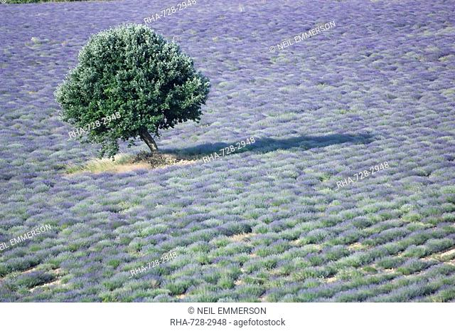 Tree in a Lavender Field, Luberon, France
