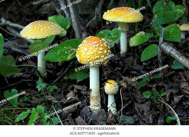 Fly agaric mushroom on forest floor; (Amanita muscaria); poisonous mushroom. Near Thunder Bay, Ontario, Canada