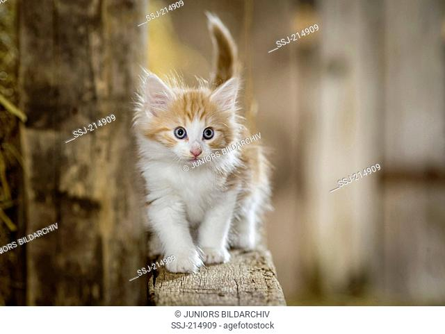Norwegian Forest Cat. Kitten in a barn, blancing on a wooden beam. Germany