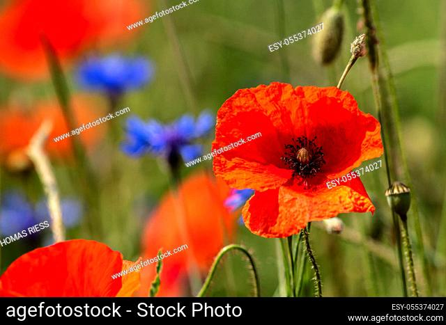 Flower Meadow with red poppies
