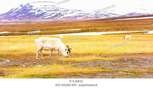 Reindeer eating grass in the advent valley in Svalbard. Summer in the arctic environment near Longyearbyen. Slow motion. Shot on RED