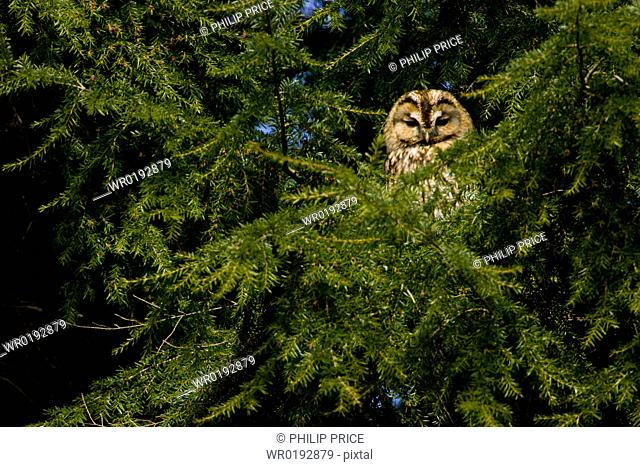 Tawny Owl Strix aluco perched in a pine tree Loch Awe, nr Oban, Scotland, UK