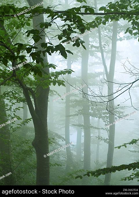 Misty beech forest (Fagus sylvatica) at Font del Muro site. Summer time at Montseny Natural Park. Barcelona province, Catalonia, Spain