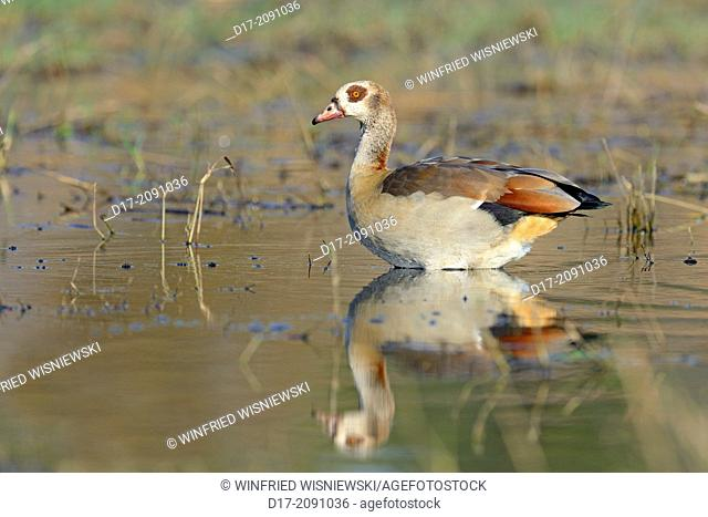Egyptian goose (Alopochen aegyptiaca) taking a bath, Chobe River NP, Botswana