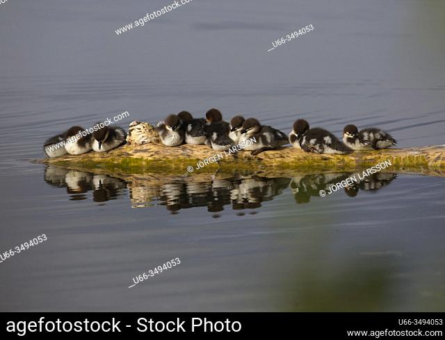 Goosander (Mergus merganser) with chicks. Malaren, Sodermanland, Sweden