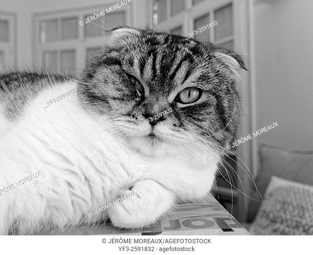 Scottish Fold, Cat