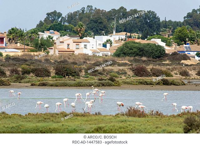 Greater flamingo, Marismas de Sancti Petri, Andalusia, Spain, Phoenicopterus roseus