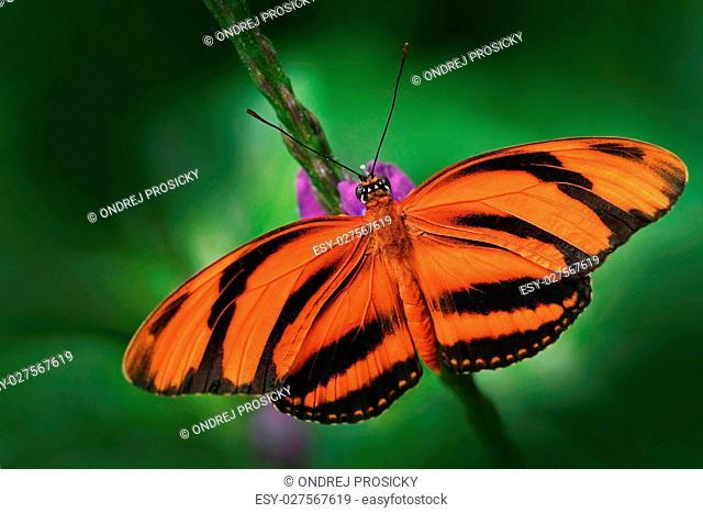 Orange Barred Tiger, Dryadula phaetusa, butterfly in nature habitat