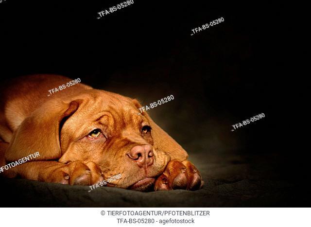Bordeauxdog Puppy