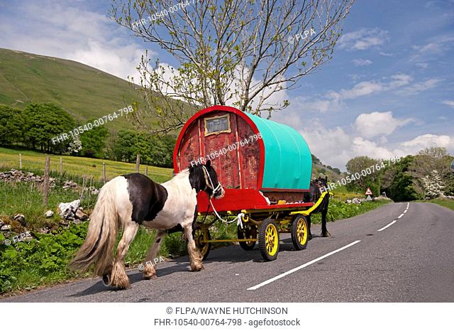 Horse, Irish Cob (Gypsy Pony), pulling traveller caravan, heading towards Appleby Horse Fair, along A683 between Sedbergh and Kirkby Stephen, Cumbria, England