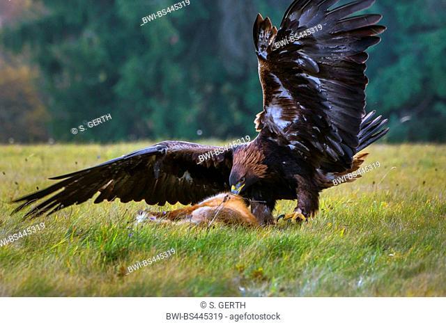 golden eagle (Aquila chrysaetos), plucking a dead fox in a meadow, side view, Czech Republic, Hlinsko