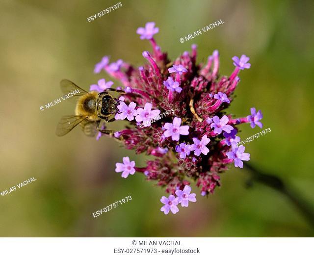 Honey Bee, Bee, Apis Apini