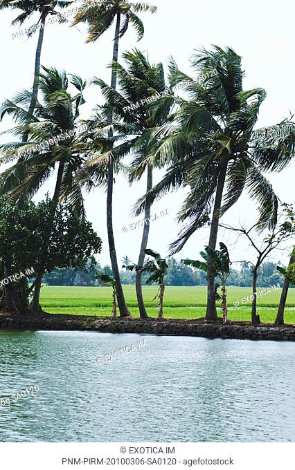 Trees on the coast, Kerala Backwaters, Alleppey, Alappuzha District, Kerala, India