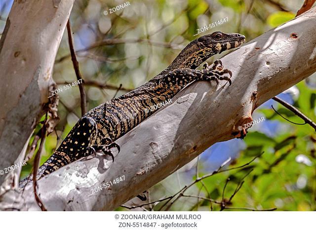 Monitor Lizard In A Tree Queensland Australia