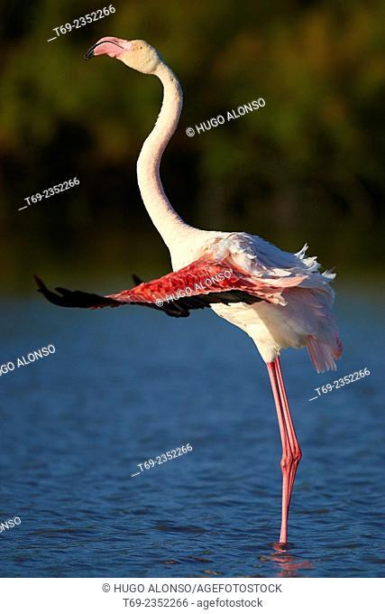 Beating of wings. Greater flamingo Phoenicopterus roseus